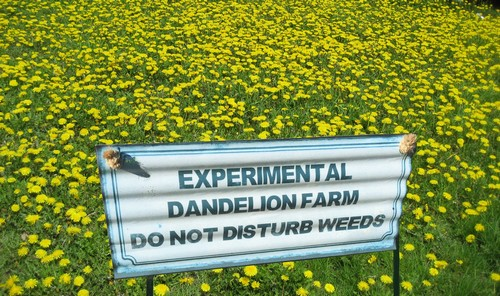 Call Turf King for Dandelion Weed Control